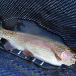 "15"" Rainbow caught mid-July"